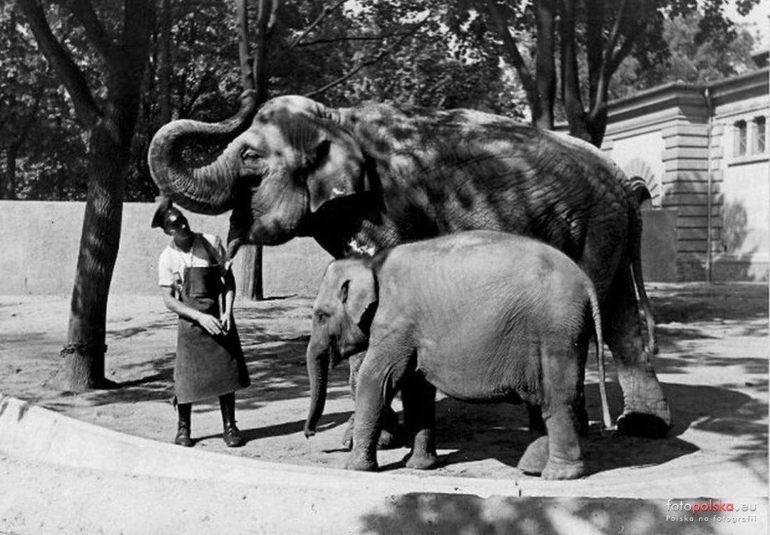 Historia pierwszego Wrocławskiego słonia – Theodora. – MiejscaWeWroclawiu.pl
