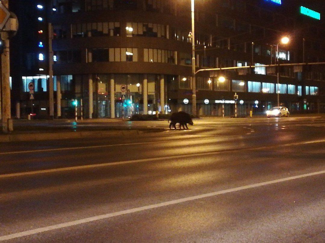 Dziki spacerowały przy ulicy Legnickiej. – MiejscaWeWroclawiu.pl