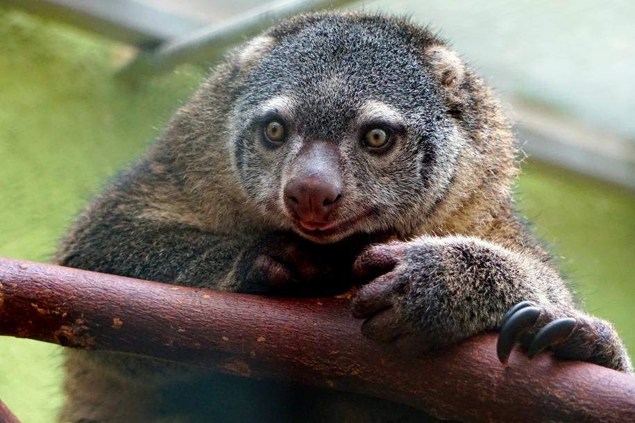 Światowa sensacja we wrocławskim zoo – urodził sie kuskus niedźwiedzi [WIDEO]. – MiejscaWeWroclawiu.pl