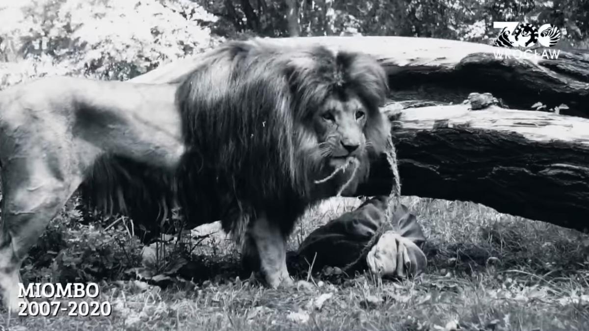 Odszedł Miombo – lew, który mieszkał w Zoo Wrocław.