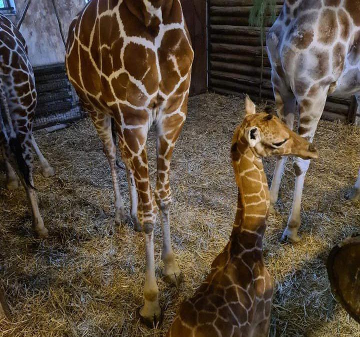 We wrocławskim zoo przyszła na świat żyrafa.