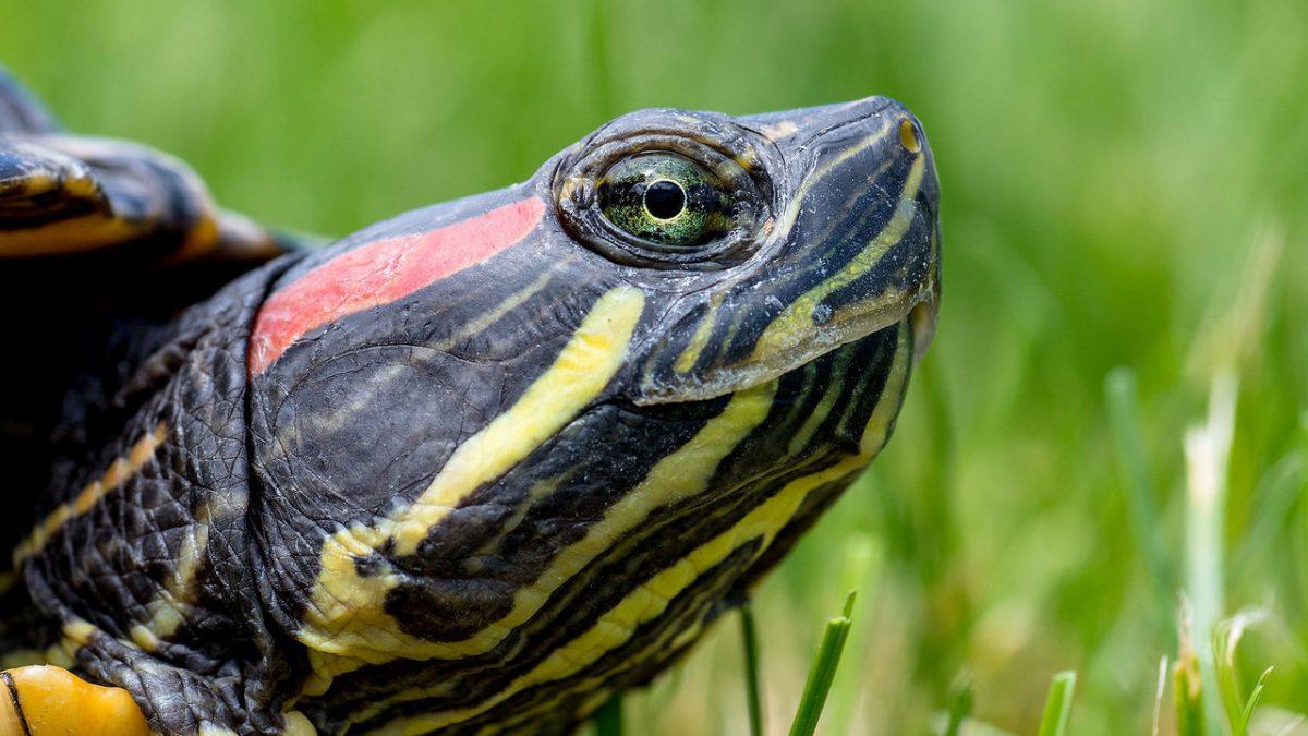 Inwazyjne żółwie zostaną odłowione z fosy miejskiej.