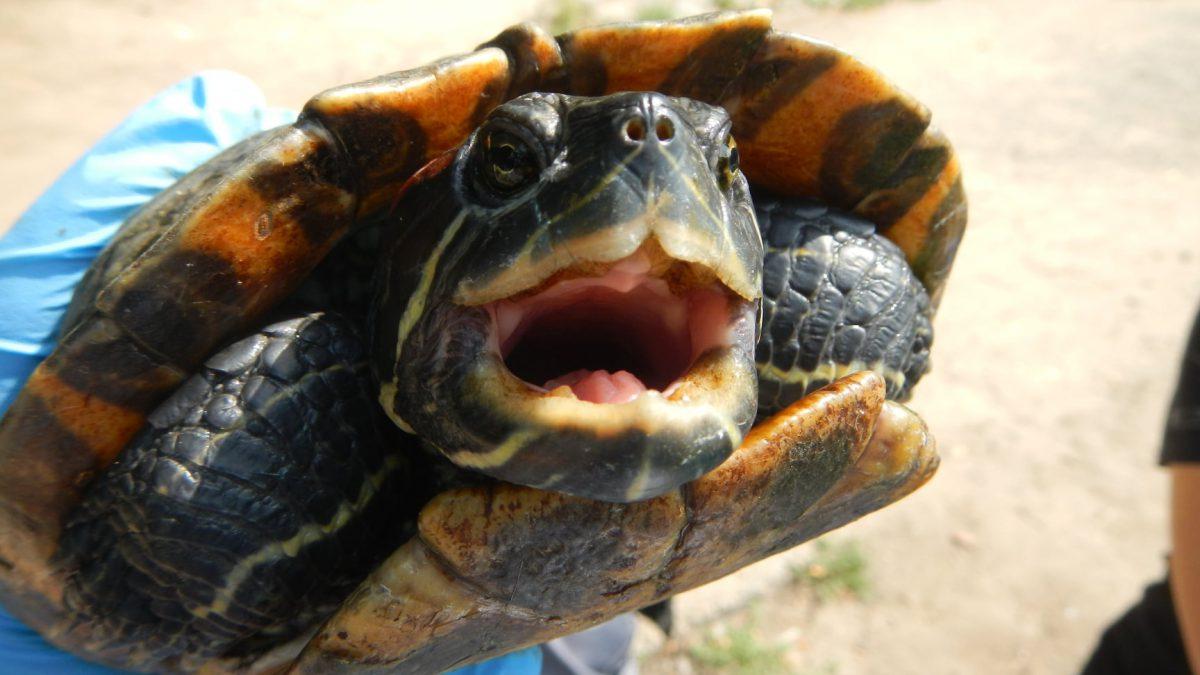 Trwa odławianie żółwi z Fosy Miejskiej.